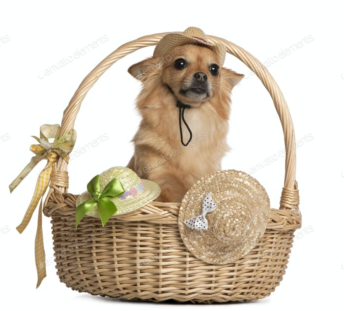 Chihuahua, 3 years old, sitting in baskets with hats in front of white background
