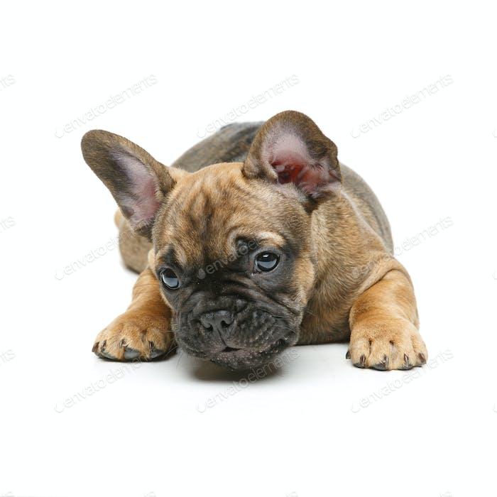 Niedlich Französisch Bulldogge Welpen