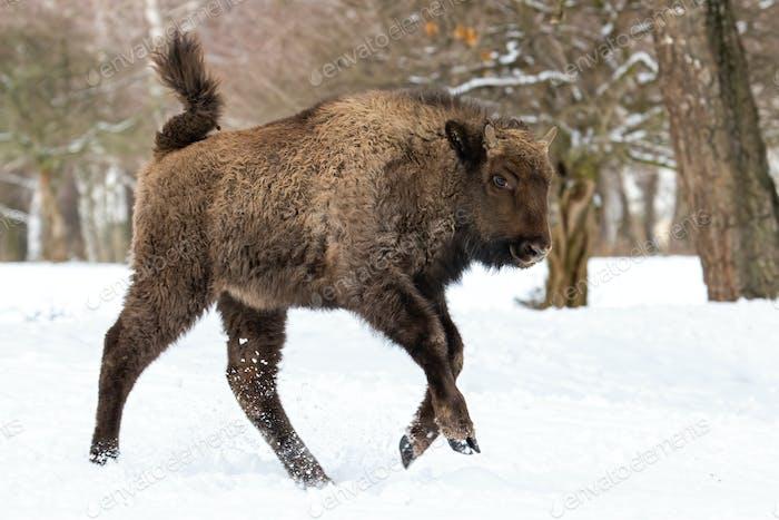 Junge europäische Bisons läuft im Winterwald auf Schnee