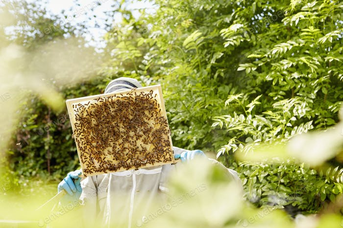 A beekeeper holding up and checking a honeycomb frame from a beehive.