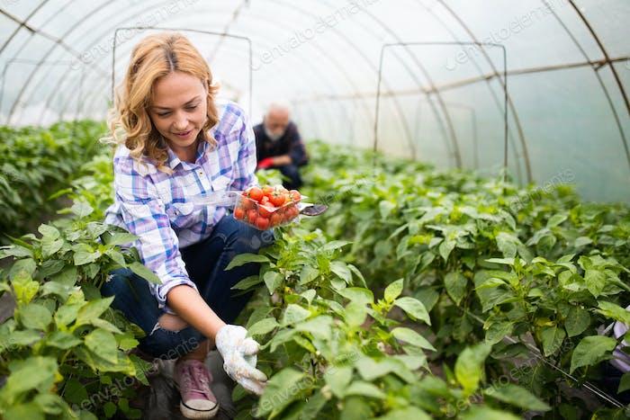 Farmer family picking organic vegetables in garden