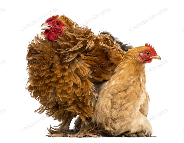 Crossbreed rooster, Pekin and Wyandotte, standing next to a Pekin bantam hen lying
