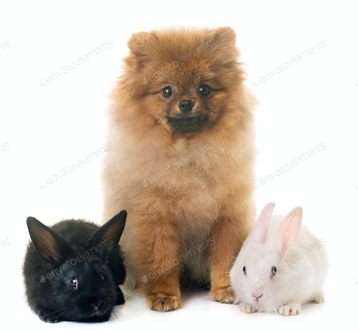 rabbits and pomeranian