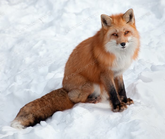 Young Red Fox in the Snow Looking at the Camera