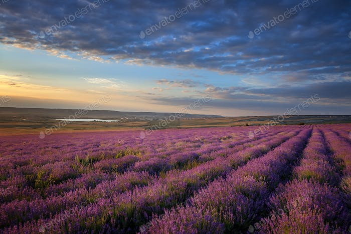 Lavender field under blue sky