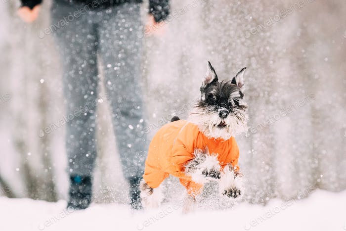 Miniature Schnauzer Dog Or Zwergschnauzer Sitting In Outfit Play