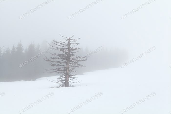 dry tree in snow and dense fog