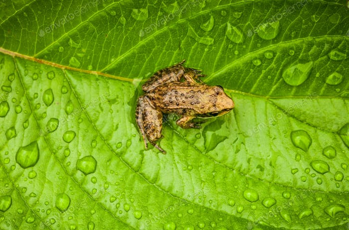 Miniature from sitting on a Wet Leaf