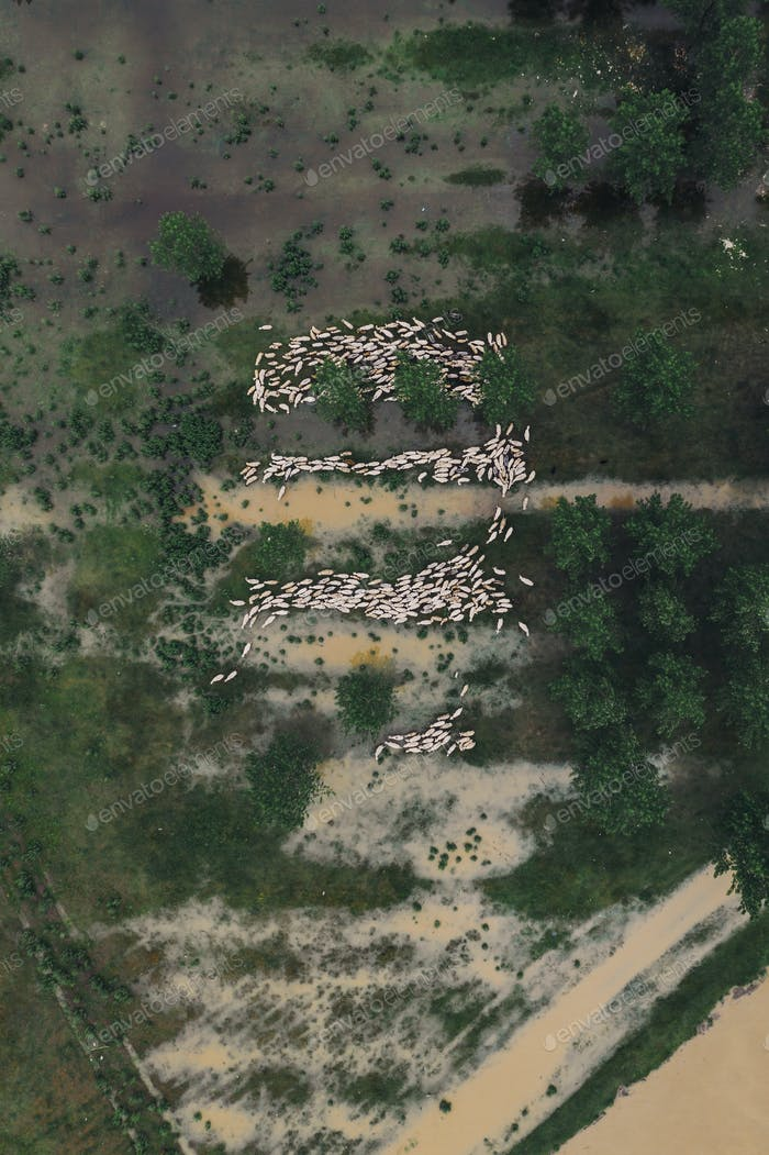 Flock of sheep on flooded pasture, aerial view