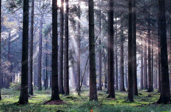 rayos de sol en Bosque de coníferas nublado