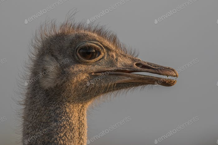 The head of an ostrich, Struthio camelus, side profile.