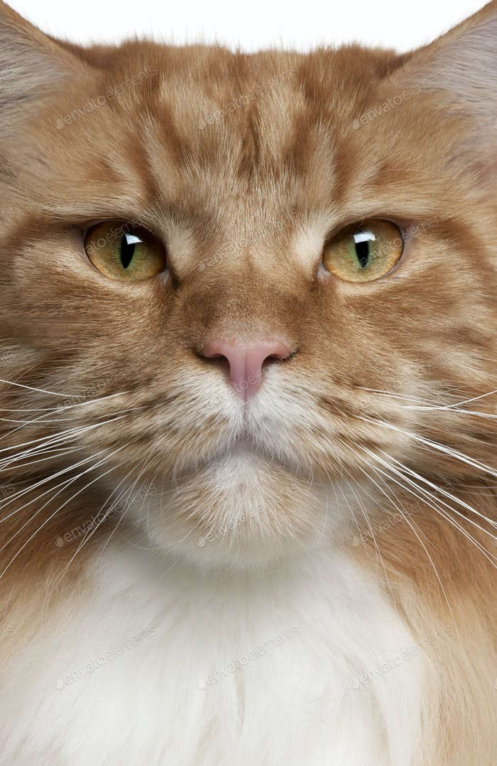 Close-up of a Maine Coon, 2 years old