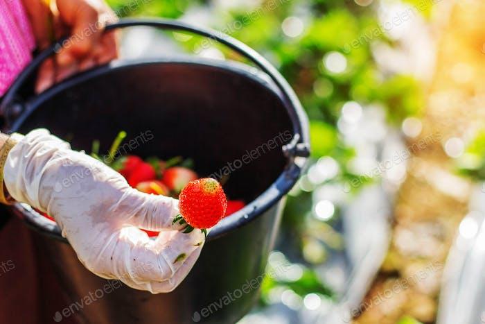 Strawberries in hands of gardeners