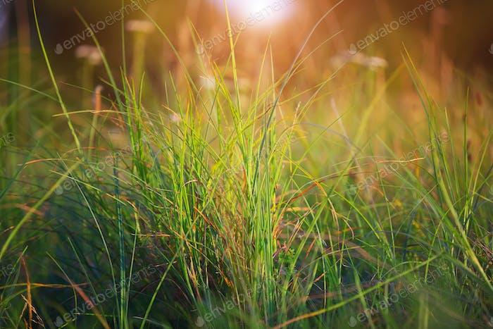 Green Summer Grass Meadow Close-Up