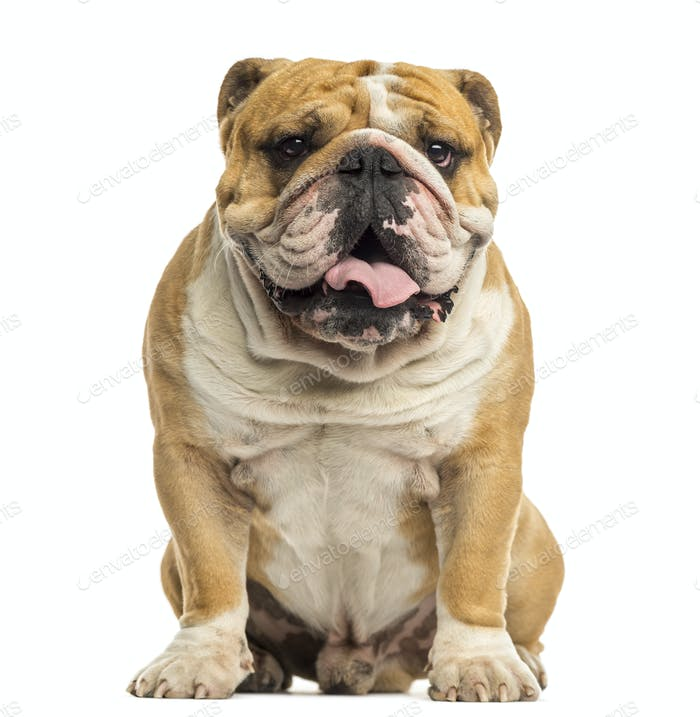 English Bulldog sitting, panting, isolated on white