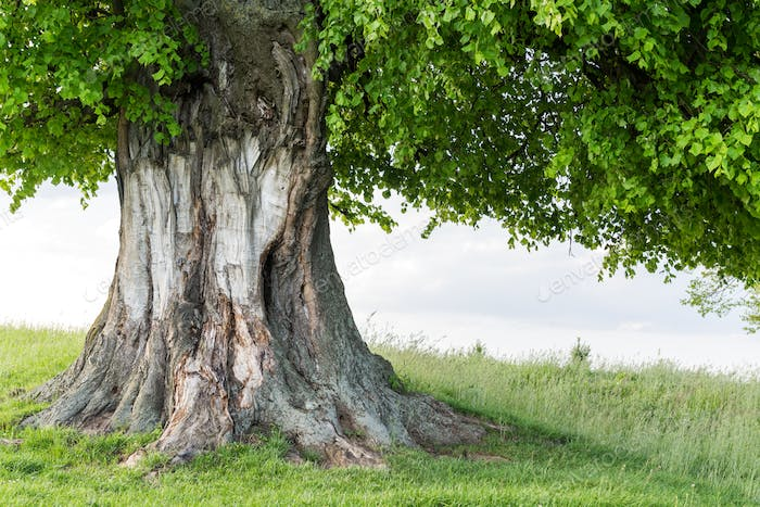 Old linden tree on summer meadow