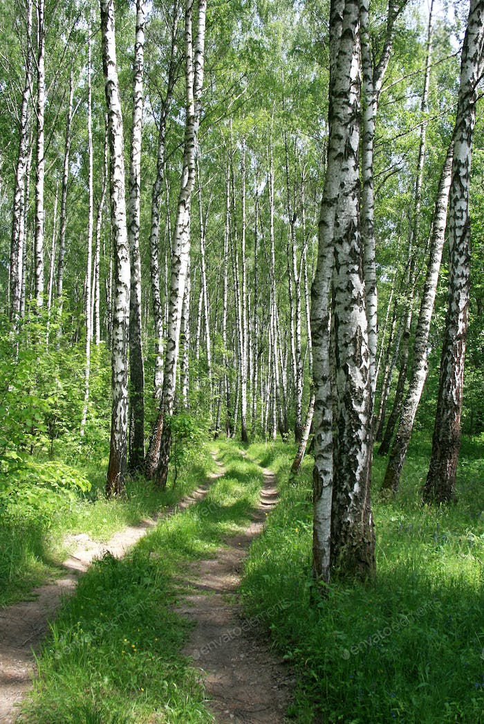 Road in a birch forest