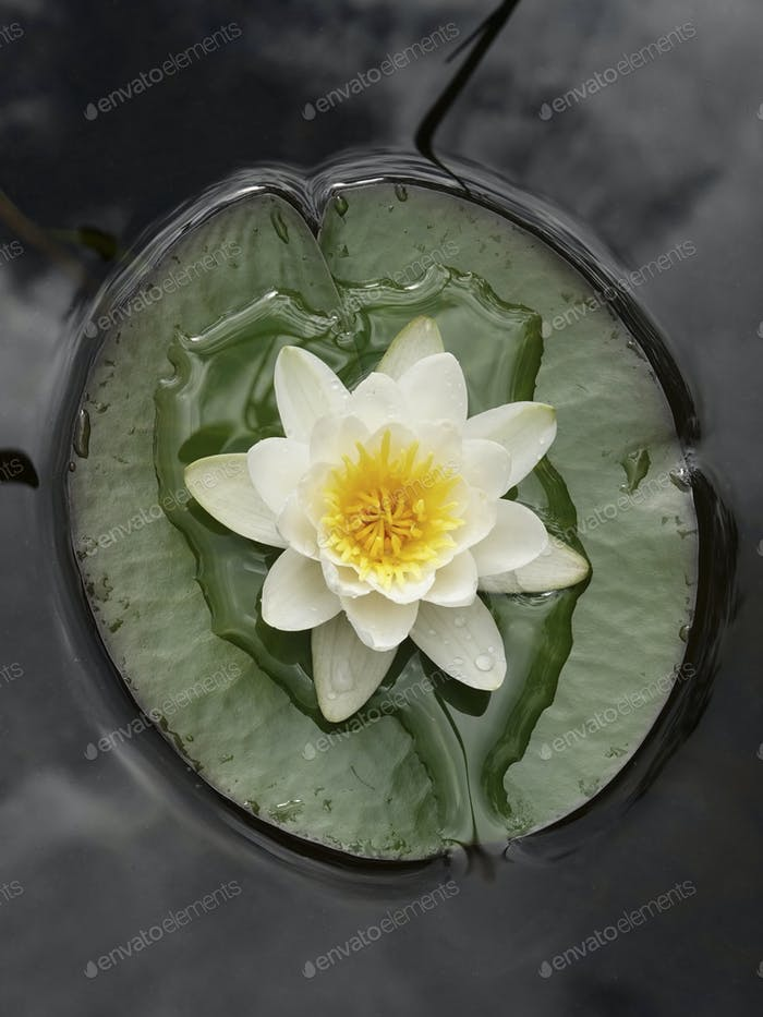 European white water lily (Nymphaea alba)
