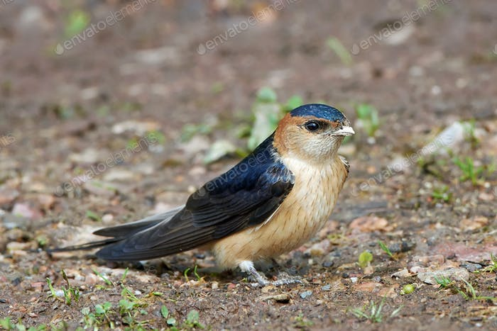 Red-rumped swallow (Cecropis daurica)