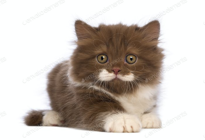 British Longhair kitten, 6 weeks old, lying and looking at the camera in front of white background