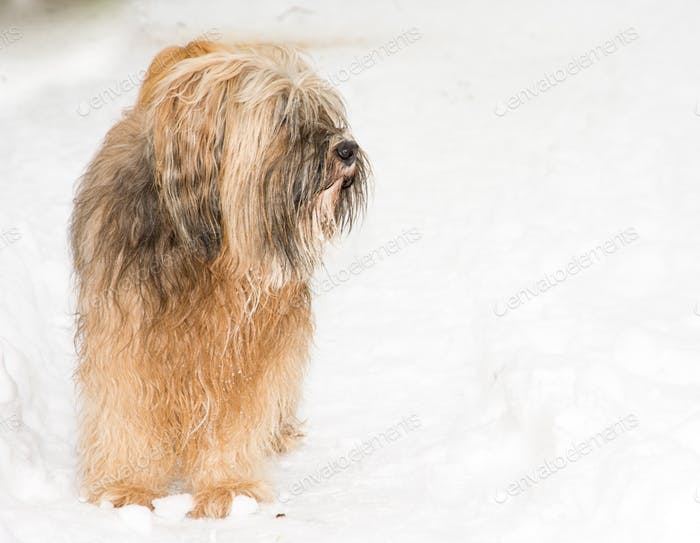 Tibetan terrier dog standing in the snow