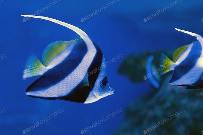 Moorish idol swimming in the aquarium