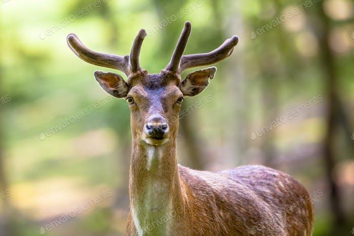 Fallow deer torso