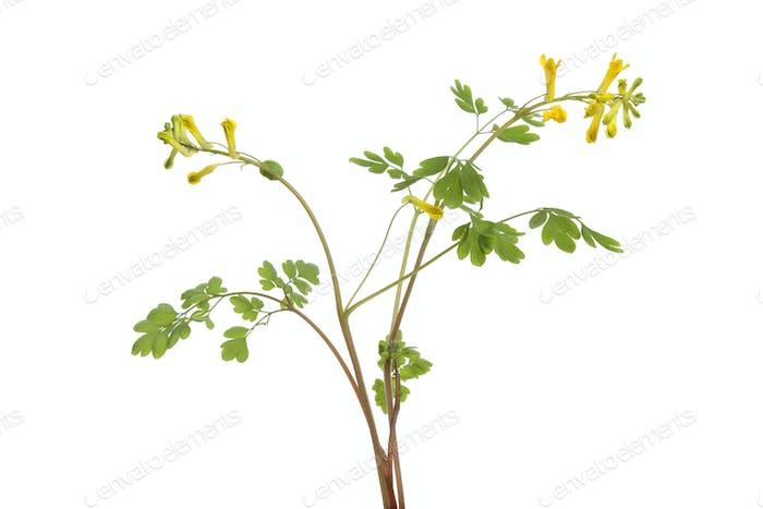 Twig of flowering Rue