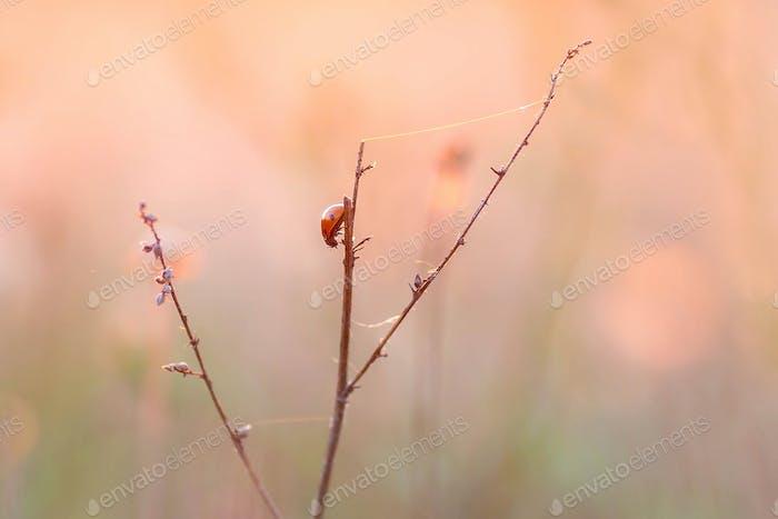 Ladybug on the twig