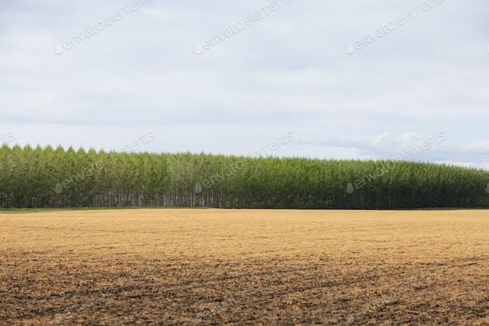 A large plantation of poplar trees in a arboriculture nursery or farm in Oregon, USA