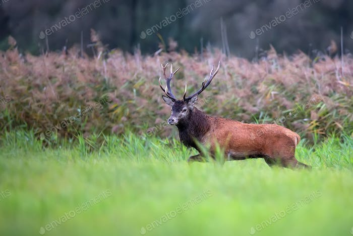 Red deer in a clearing i