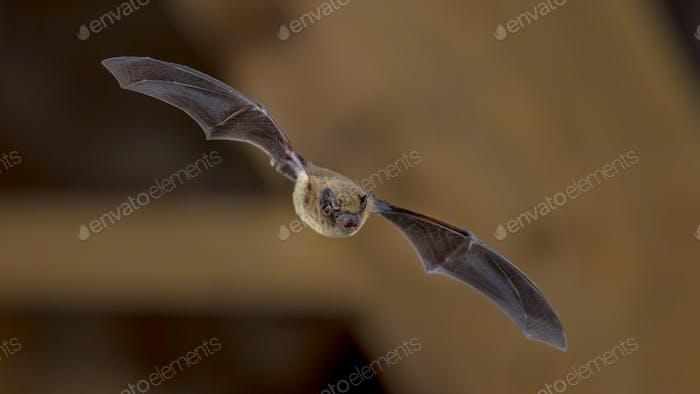 Flying Pipistrelle bat on wooden ceiling