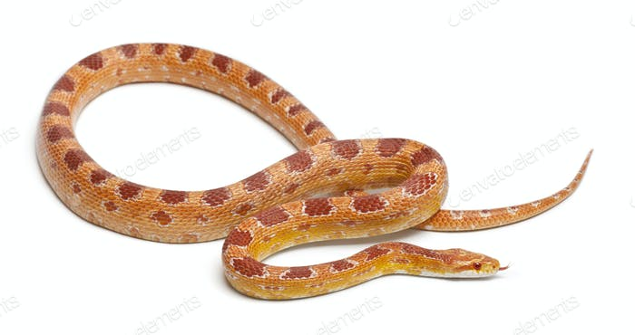 Okeetee albinos Corn Snake, Red Rat Snake,  Pantherophis guttatus, in front of white background