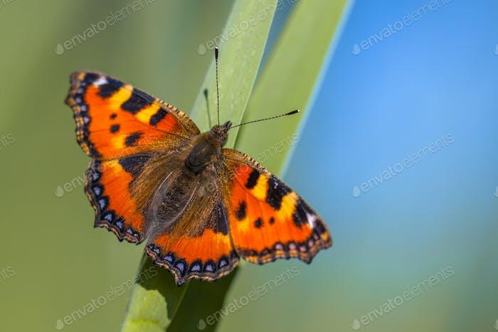 Schmetterling Kleine Schildpatt