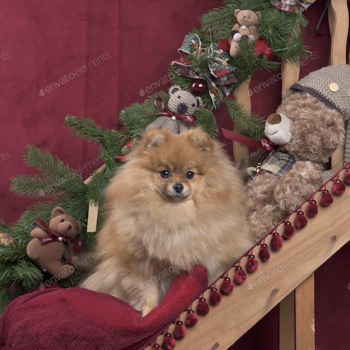 Pomeranian in Christmas decoration