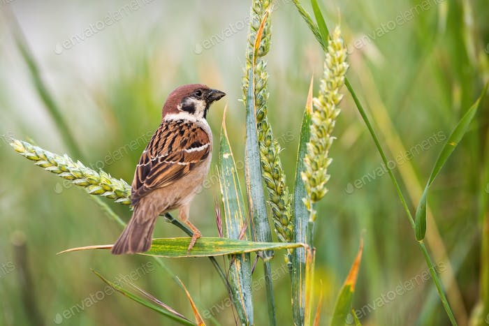 Curious eurasian tree sparrow sitting on spike in the summer