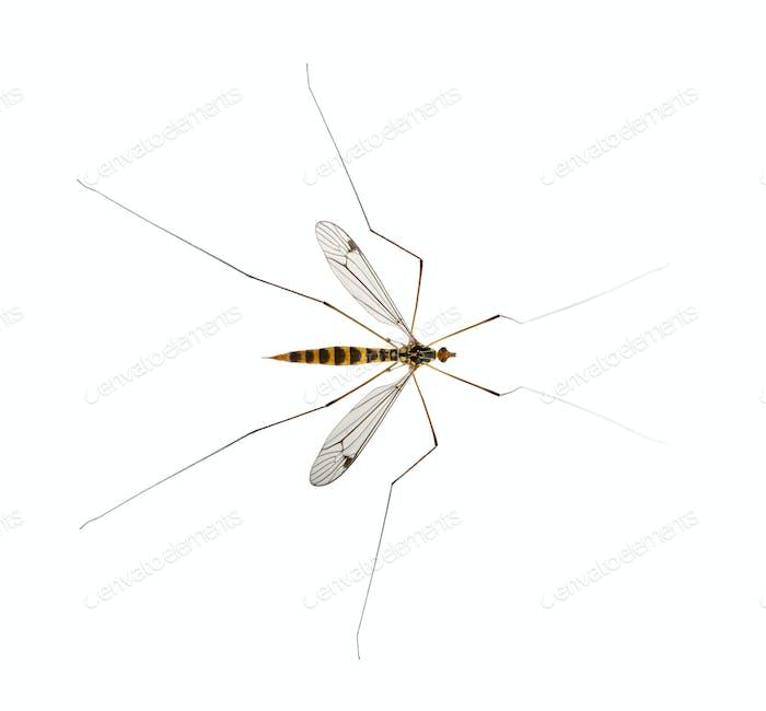 daddy long legs, mosquito, - nephrotoma scalaris