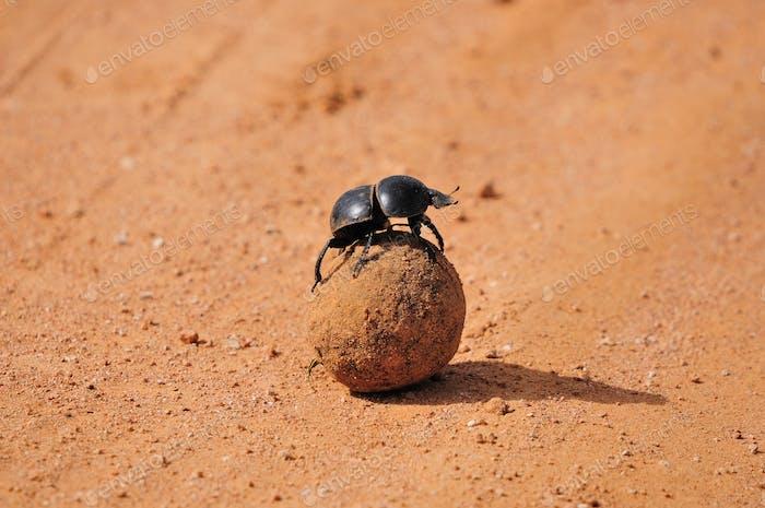 A Flightless Dung Beetle