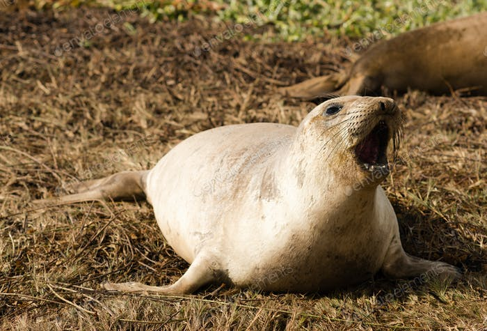 Elephant Seal Wild Mammal Barks Pacific Ocean SeaShore
