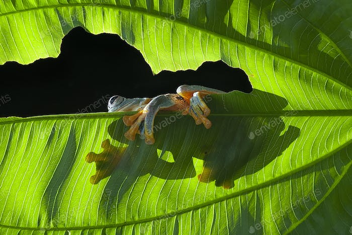 Tree Frogs Flying Frog Sitting on  a Leaf