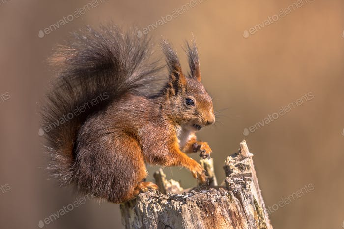 Red squirrel seated on trunk