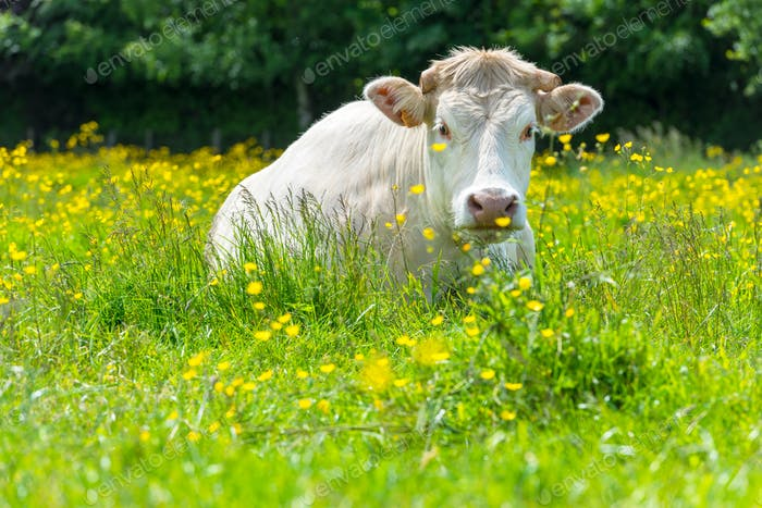 White Cow at the Green Meadow