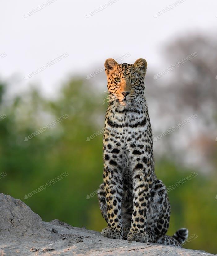 Leopard, Wildlife scene in nature habitat