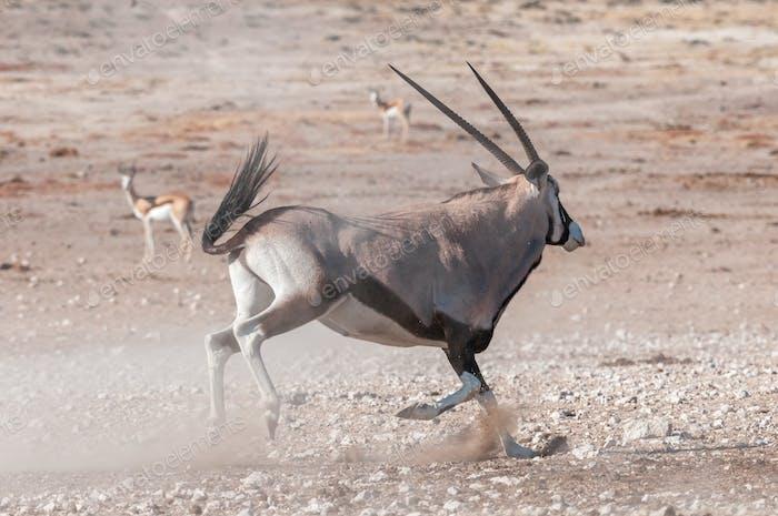 An Oryx, Oryx gazella, also called a gemsbok, running