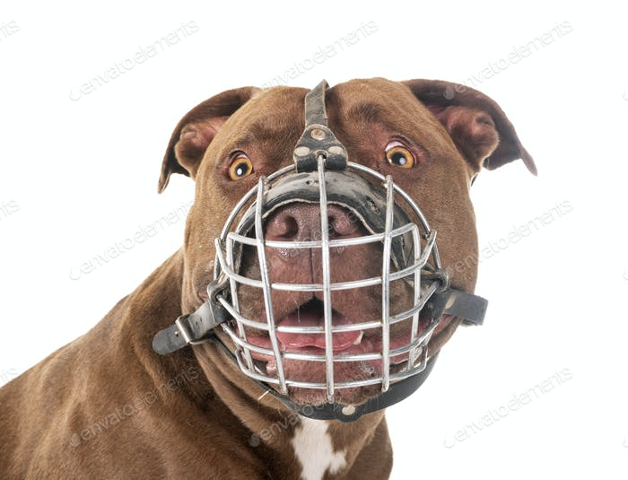 american pitbull and muzzle