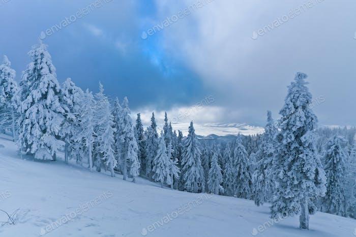 лесные деревья зимой