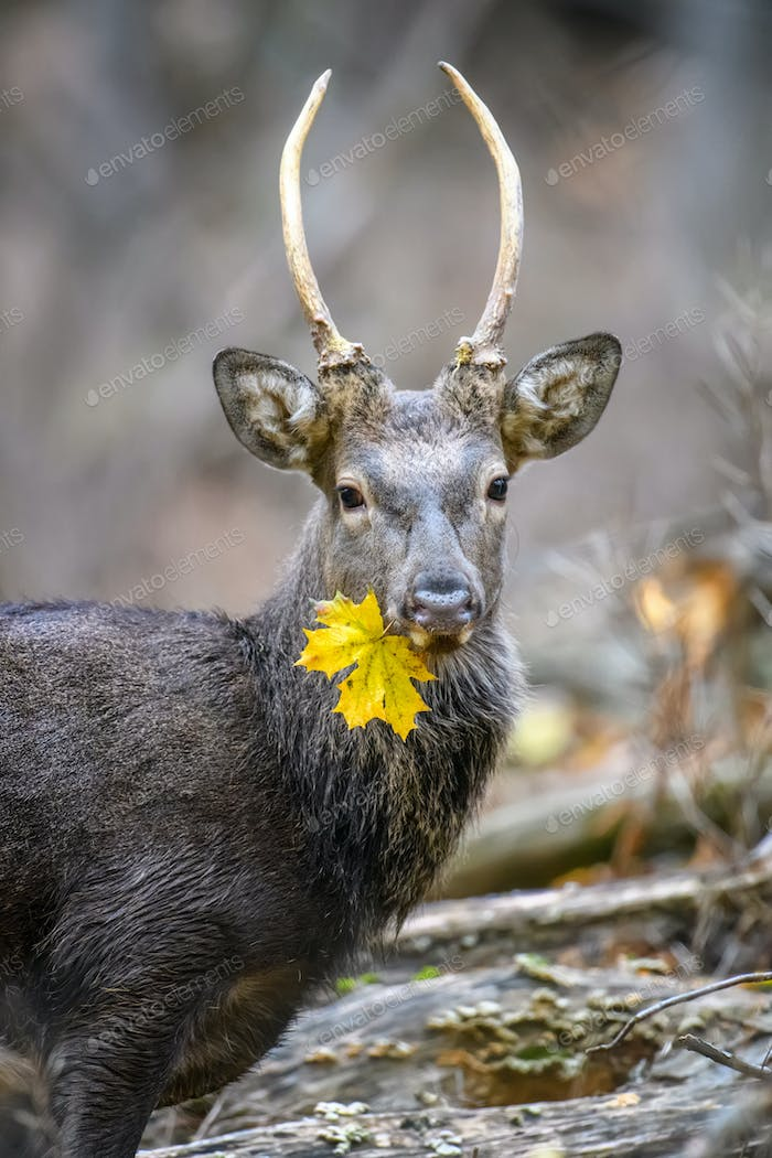Portrait of majestic deer stag in Autumn Fall