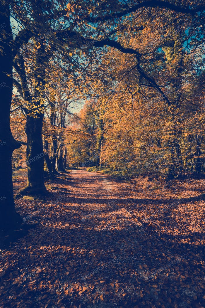 countryside walking path in autumnal and fall forest
