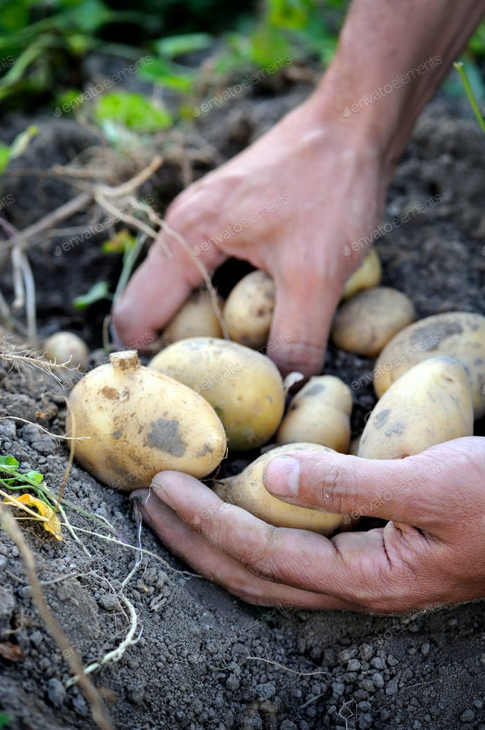 Handful of freshly harvested potatoes