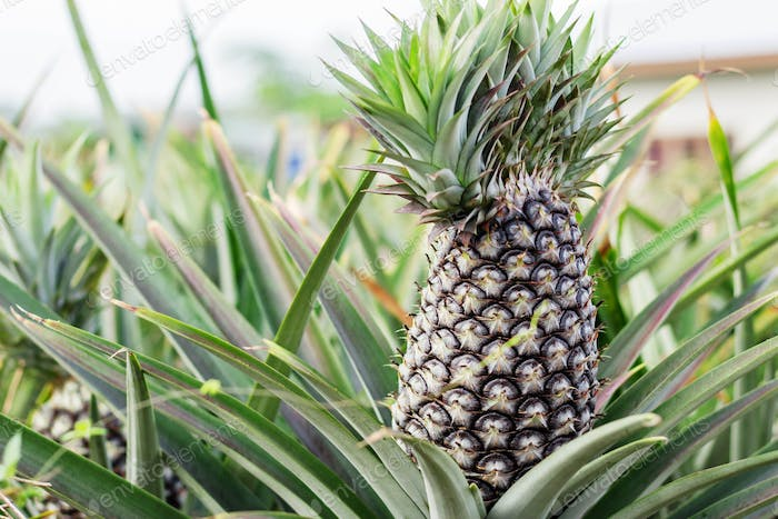 Pineapple of farmland